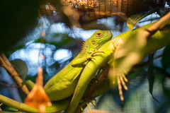Chameleon inside a cage Stock Images