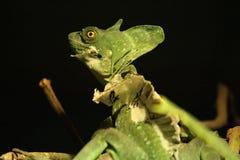 Chameleon, Stock Images