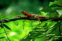 Chameleon island branch. Close Royalty Free Stock Image