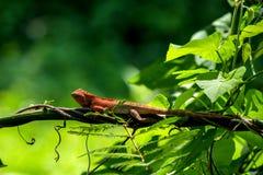 Chameleon island branch Stock Images