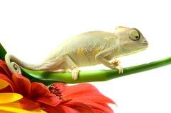 Chameleon. Isolação no branco imagens de stock