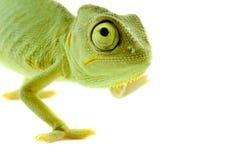 Chameleon. Isolação no branco imagens de stock royalty free