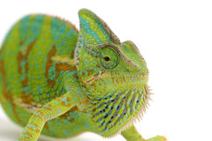 Chameleon isolado no branco Foto de Stock
