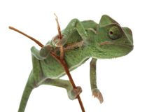 Chameleon isolated on white Royalty Free Stock Photo