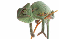 Chameleon isolated on white Stock Photography