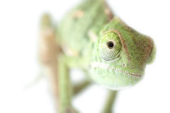 Chameleon isolated on white Stock Images