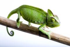 Chameleon isolated on white stock photo