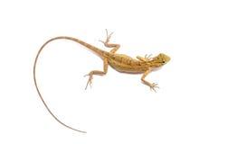 Chameleon. Isolated on white background Stock Photos