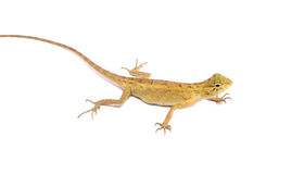 Chameleon. Isolated on white background Stock Photo
