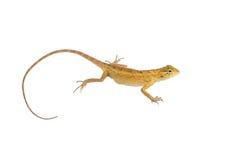 Chameleon. Isolated on white background Stock Images