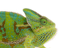 Chameleon isolated on white. Backgtound Stock Photos