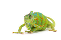 Chameleon isolated on white. Backgtound Royalty Free Stock Image