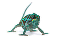 Chameleon isolated on white. Backgtound Royalty Free Stock Images
