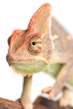 Chameleon. Isolation on white Royalty Free Stock Photo