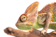 Chameleon. Isolation on white Stock Photos
