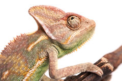 Chameleon. Isolation on white Stock Photography