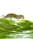 Chameleon. Isolation on white Royalty Free Stock Photography
