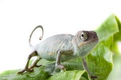 Chameleon. Isolation on white Royalty Free Stock Photos