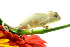 Chameleon. Isolation on white Stock Images