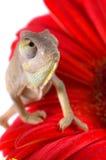 Chameleon. Isolation on white stock photos
