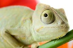 Chameleon. Isolation on white Stock Image