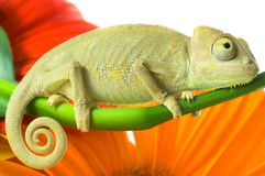 Chameleon. Isolation on white stock images