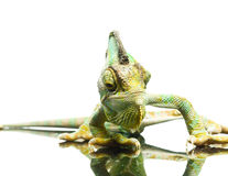 Chameleon. Isolation on white Royalty Free Stock Photos