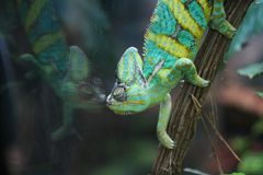 Chameleon and its mirror image. Chameleon on a branch and its mirror image in a zoo Royalty Free Stock Photos