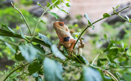 Chameleon Keeping A Watchful Eye. At the Kumbhalgarh Fort, Kumbhalgarh, Rajasthan, India Stock Photos