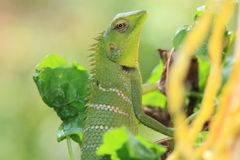 Chameleon Kerala backwater taking sun bath Stock Photo
