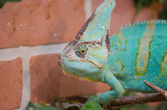 Chameleon. Large chameleon in the zoo stock photography