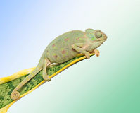 Chameleon on a leaf Stock Images