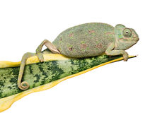 Chameleon on a leaf Stock Image