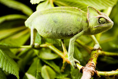 Chameleon on the leaf stock photo