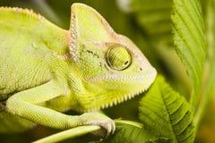 Chameleon on the leaf stock image