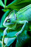Chameleon on the leaf Royalty Free Stock Images
