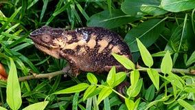 Chameleon. In leaves Stock Image