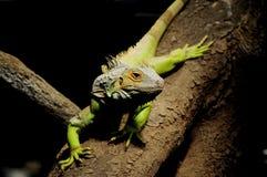 Chameleon lizard Stock Images