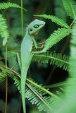 Chameleon Lizard. In green camouflage, sitting on green fern fronds Royalty Free Stock Image