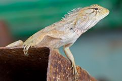 Chameleon, lizard Royalty Free Stock Photo