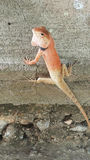 Chameleon. Is lizard Stock Photo