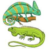 Chameleon Lizard, American green iguana, reptiles or snakes. herbivorous species. vector illustration for book or pet. Store, zoo. engraved hand drawn in old Royalty Free Stock Images