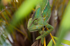 Chameleon lizard Stock Photos