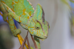 Chameleon lizard Royalty Free Stock Image