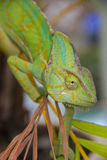 Chameleon lizard Royalty Free Stock Photos