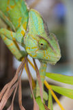 Chameleon lizard Royalty Free Stock Photo