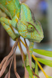 Chameleon lizard Royalty Free Stock Images