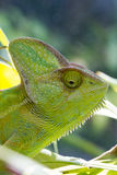 Chameleon lizard Stock Photography