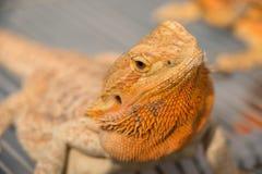 Chameleon. Lizard new pet for family Stock Photos