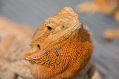 Chameleon. Lizard new pet for family Stock Photo